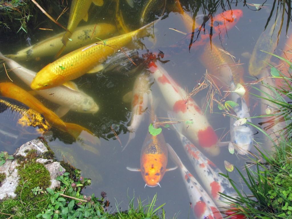 2013 09 12 SF Garden Gate Park Japanese Tea Garden  koi pond (1)