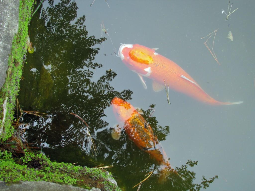 2013 09 12 SF Garden Gate Park Japanese Tea Garden  koi pond (3)