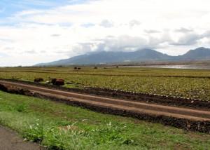 2013 10 29 Hawaii Dole Plantation Pineapples (1)