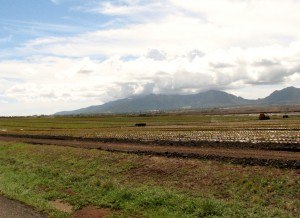 2013 10 29 Hawaii Dole Plantation Pineapples (2)