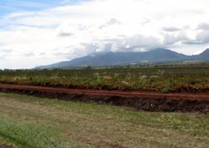2013 10 29 Hawaii Dole Plantation Pineapples (3)
