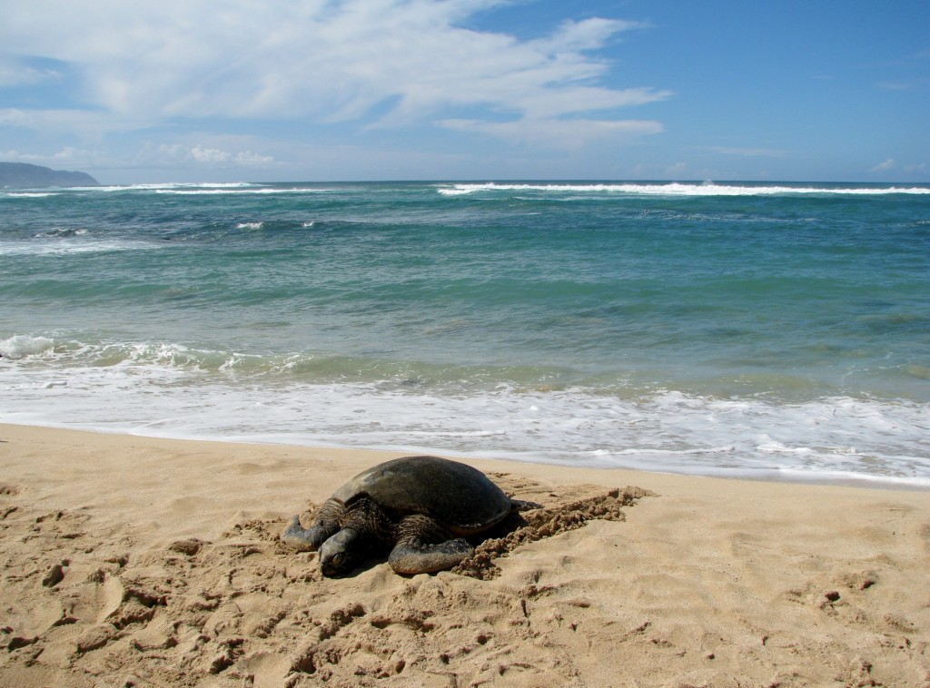 2013 10 29 Hawaii Honolulu Turtle Bay Turtle Kuhina (10)