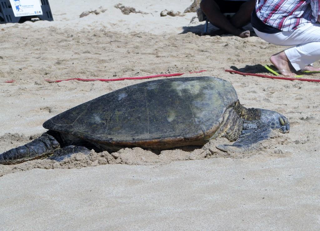2013 10 29 Hawaii Honolulu Turtle Bay Turtle Kuhina (12)