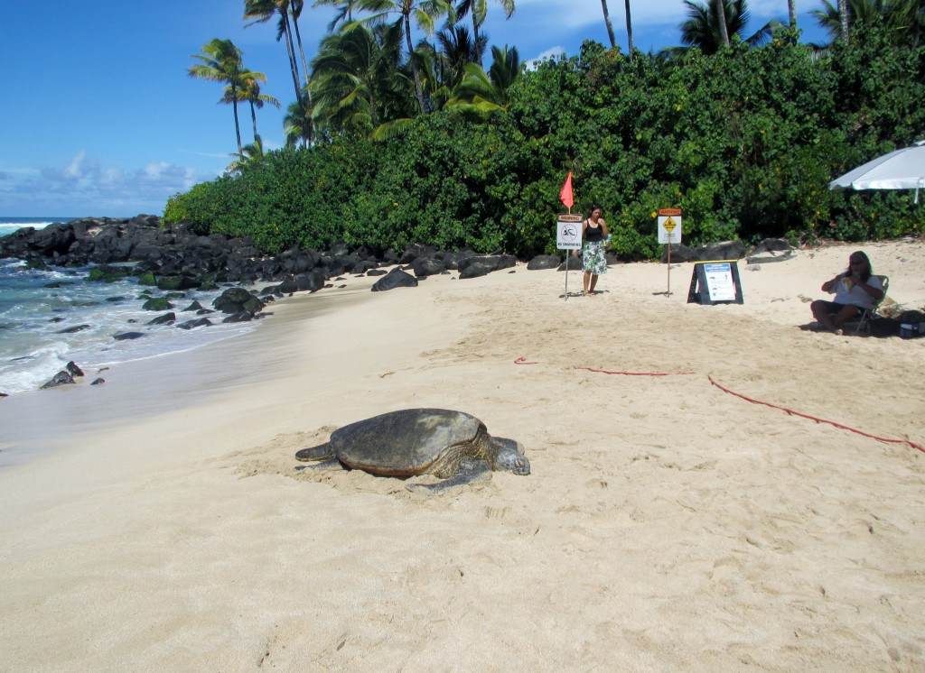 2013 10 29 Hawaii Honolulu Turtle Bay Turtle Kuhina (7)