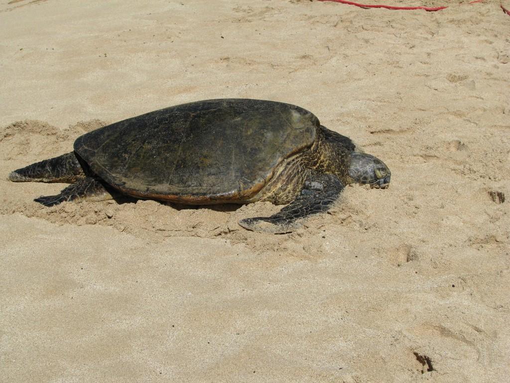 2013 10 29 Hawaii Honolulu Turtle Bay Turtle Kuhina (8)