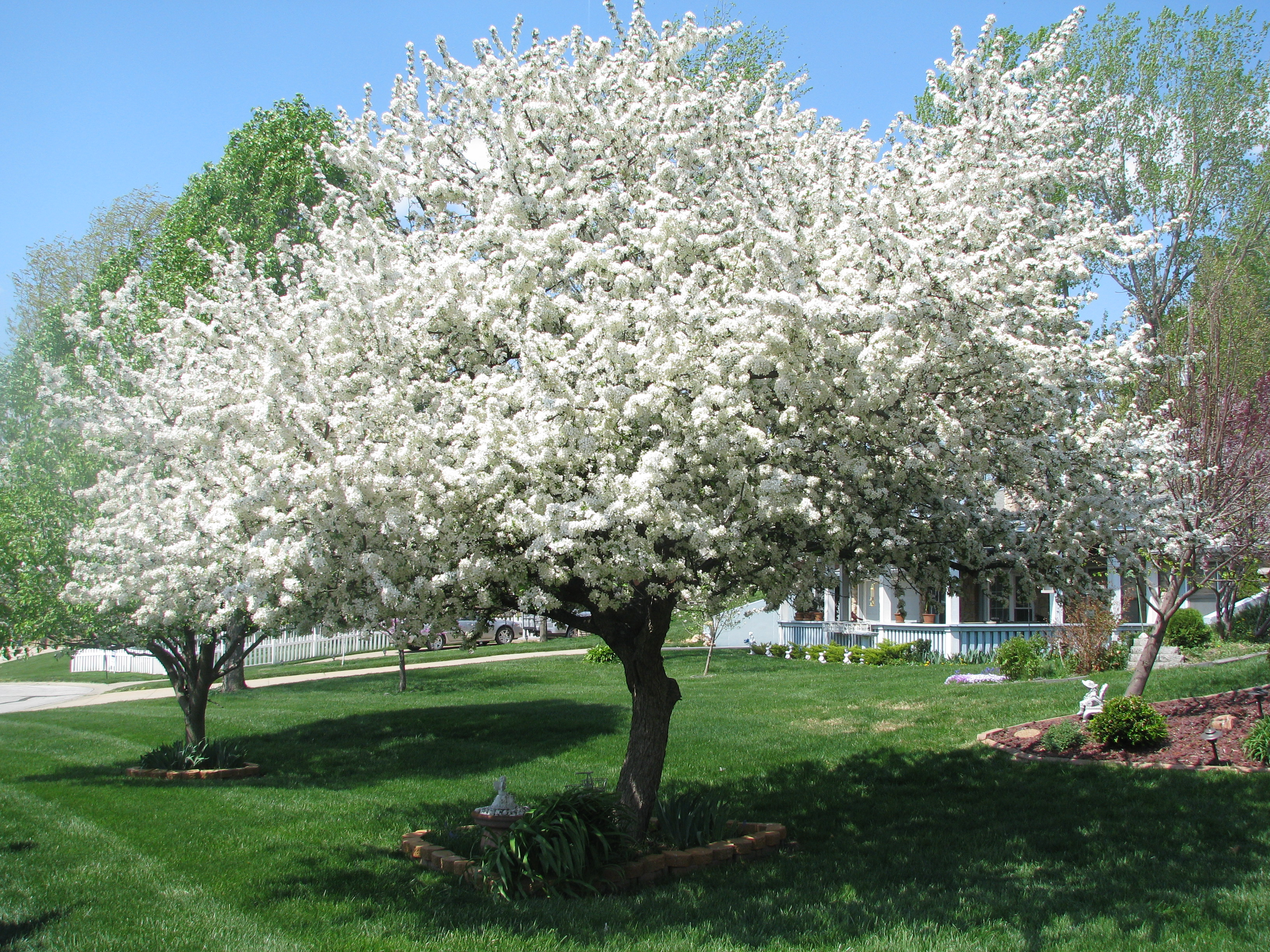Trees crabapple on pinterest flowering crabapple for Crabapple tree