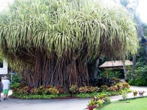 2013 10 28 Hawaii Hale Koa Hotel Tree (3)