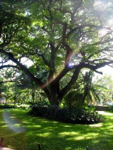 2013 10 28 Hawaii Hale Koa Hotel Tree (4)