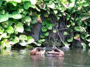 2013 10 28 Hawaii Hawaiian Hilton Hotel Ducks