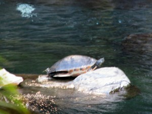 2013 10 28 Hawaii Hawaiian Hilton Hotel Turtle