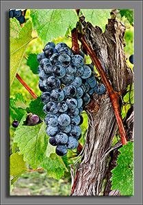 2014 10 05 HolyField Grapes_Vine